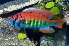 Haplochromis Pundamilia Nyererei
