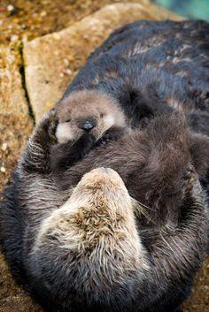 Sea Otter gives birth to newborn pup in Monterey Bay Aquarium Tide Pool. Photo: Tyson V. Monterey Bay Aquarium, Baby Sea Otters, Otter Pup, Baby Animals, Cute Animals, Otter Love, Little Critter, Pet Birds, Mammals