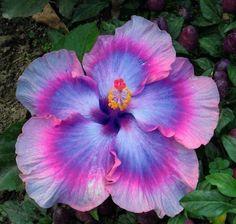 Haarwuchsmittel aus der Natur, Hibiskus, Hibiskuspflanze, Hibiskusblüte in violetter Farbe, grüne Blätter
