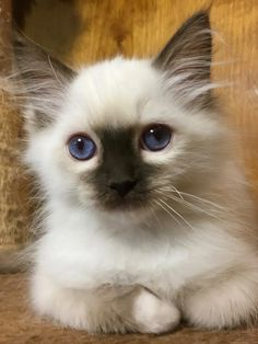 Welcome to Genotype Cats - Ragdoll Cats Ragdoll Cats, Kittens, Wise Animals, Nine Lives, Primates, Cat Food, Cat Breeds, Fleas, Rage