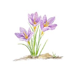 Oh how I look forward to the crocuses blooming in my garden in springtime! I love the burst of color they provided from afar, but I also love looking at them at close range where I can appreciate thei
