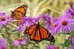 10 Ways to Attract More Monarchs in 2014 - narrow leaf milkweed Theodore Payne 4.99