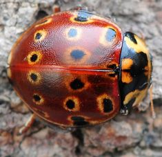 Eye-spotted Lady Beetle, diffuse light - Anatis mali