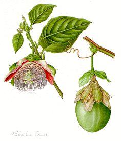 Ilustração botânica do maracujá [Passiflora edulis Sims] de Maria Cecília Tomasi.