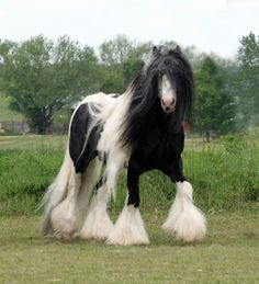 "The ""Gypsy Horse"", known in America as the Gypsy Vanner, was bred by Gypsy Travelers to pull their ornate caravans & carts. Long flowing manes & tails, & of course, an abundant amount of leg feathering is highly desirable. The intelligence, stamina, hardiness & sensibility of these horses are unsurpassed by any other breed today! (This type of horse may also be called Gypsy Cob, Irish Cob & Romany Horse. To ""be"" a ""Vanner"", they must be registered with the Gypsy Vanner Horse Society."