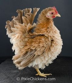 """Twinkie"" a frizzled Serama hen; she's just adorable! awesom chicken, farm, wwwpixiechickenscom twinki, anim, chicken famili, twinkies, serama chickens, hens, feather"
