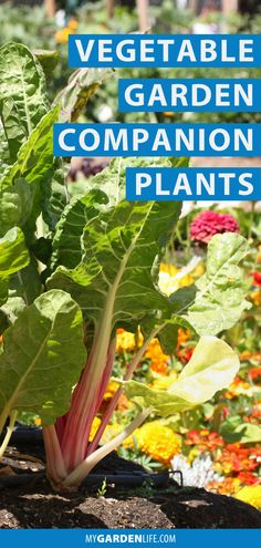 Corn loves beans but can't stand tomato. Beans would just as soon hang with potatoes, but add squash in, and you're asking for trouble. Sounds like junior high all over again! Learn the ins and outs of companion planting to get the most out of your vegetable garden. Check out our companion planting guide for vegetables for your garden! Vegetable Garden Planning, Vegetable Garden For Beginners, Backyard Vegetable Gardens, Fruit Garden, Edible Garden, Easy Garden, Gardening For Beginners, Gardening Tips, Garden Ideas