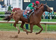 Animal Kingdom (foaled 3-20-08) is an American Thoroughbred best known for winning the 2011 Kentucky Derby, which took place before a record crowd of 164,858. He finished 2nd in the Preakness & 6th in the Belmont before his career was disrupted by injury. He returned to finish 2nd in the 2012 Breeders' Cup Mile before winning the Dubai World Cup in 2013. He is the first Kentucky Derby winner to win a Grade 1 race at the age of five. He has won Grade 1 races on both dirt & synthetic surfaces.