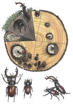 Stag Beetle - Ina Hallemans