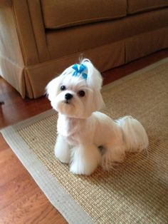 Tampa Pet Groomer. Maltese Grooming. Poodle Penthouse Inc.