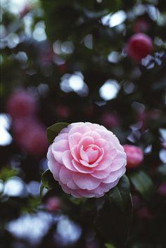 Camellia. I have this flower elixir already.