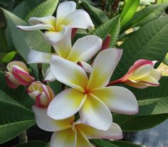 """The plumeria """"Julie Moragne"""".  One of the lesser known in the Moragne family.  Beautiful banding under petal."""