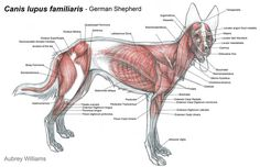 musculature anatomy of fox - Google Search