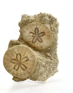 sand dollar fossil