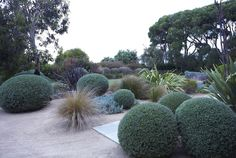 Gravel, clipped balls and ornamental grasses are a fabulous combination. Fiona Brockoff - Coast & Country Landscape Design