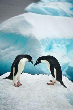 encounter on ice #penguin #animallovers #animals