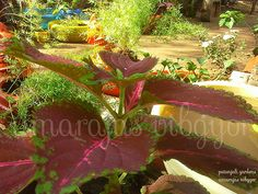 Luscious green and colourful leaves of patanjali,,, sure, they look more prettier than flowers ,, isn't it :)                               ...