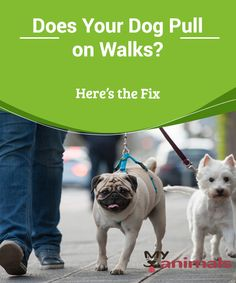 Does Your Dog Pull on Walks? Here's the Fix   It isn't uncommon to see a dog pulling its owner as if it were the dog walking the owner rather than the other way around.  Or maybe it's you who has had this experience. In spite of your efforts, there's no way you can change this behavior while you're walking.