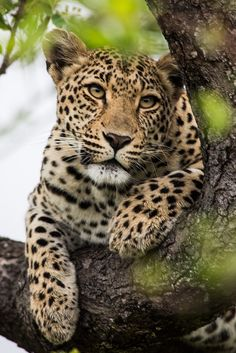 A female leopard rests in a tree, shaded from the early morning sun. #cat #leopard #spots #africa #tree #safari #travel #wildlife #nature #kruger #southafrica
