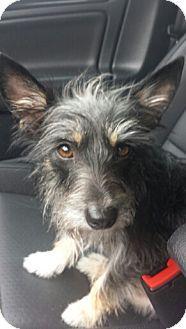 House Springs, MO - Terrier (Unknown Type, Medium) Mix. Meet Linda, a dog for adoption. http://www.adoptapet.com/pet/15874792-house-springs-missouri-terrier-unknown-type-medium-mix