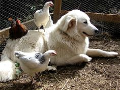 Livestock Guardian Dogs: Maremmas