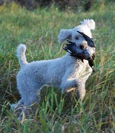 Best hunting dog ever. The poodle.