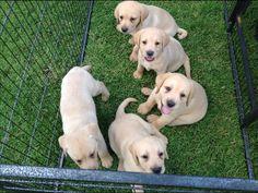 satılık saf labrador yavrusu, labrador fiyatları - Satılık yavru köpekler | Yavru köpek fiyatları