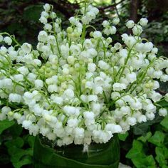 One of my favorite perrenials.......Lily of the Valley!!! Bebe'!!! So fragrant and lovely!!!