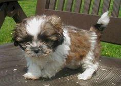 honden kleine rassen - Google zoeken