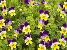 ( Viola tricolor,  also known as heartsease, wild pansy, love-in-idleness, Johnny jump-ups, etc.) shutterstock_620158811.jpg (1000×750)