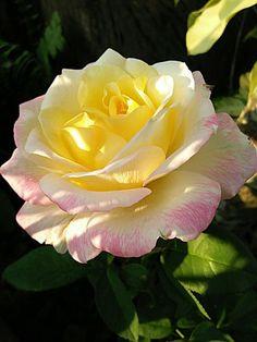 Beautiful big yellow centered rose