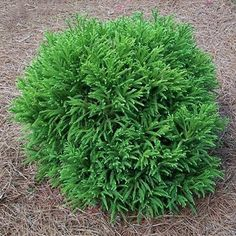 Nearly Maintenance-Free, Dome Shaped Shrub - A beautiful heavy-textured evergreen shrub, the Globosa Nana is as versatile as it is eye-catching. Perfect as a focal piece in an entryway or to enhance the exterior appeal of your home as a foundation plant, this lovely green shrub holds its attractive dome shape without pruning. Not...