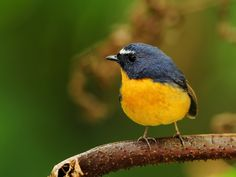 Snowy-browed Flycatcher(Ficedula hyperythra) photographed by Sushyue Liao in Taiwan.