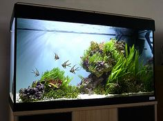 Whether we create Nature Aquaria in the style of Amano, or not, there is much we can learn from this artistic man's approach. Amano's Nature Aquarium is often misunderstood. It is not the aim of the Nature Aquarium to