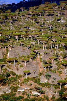 Dragon's Blood Forest Socotra,Yemen.