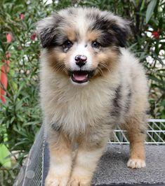 Top 10 de chiots Bergers Australiens ! Australian Shepherd Puppies, Australian Shepherds, Mini Doodle, Corgi, Cute Animals, Horses, Suzy, Charlotte, Cute Baby Animals