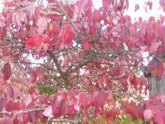 Cornus alba, Cork, October