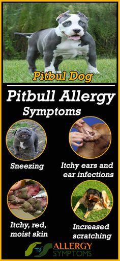 Pitbull Allergies #Pitbull #PitbullAllergies http://allergy-symptoms.org/pitbull-allergies/