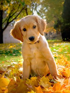 golden retriever fall leaves - Google Search