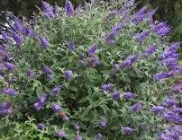 Butterfly Bush 'Lochinch' by The Plant Web | The Plant Web