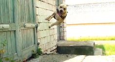 Parkour for Dogs (TreT the Parkour Dog)