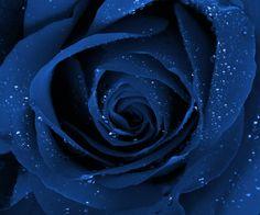 #Blue #Rose