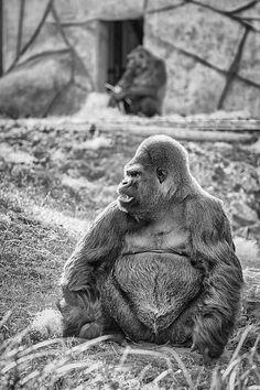 Asato, gorille dos argenté.