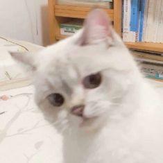 Cute Cat Memes, Funny Cute Cats, Cute Baby Cats, Cute Little Animals, Cute Funny Animals, Kittens Cutest, Cats And Kittens, Funny Memes, Cute Cat Wallpaper