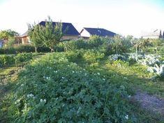 A kényelmes kertész krumplija - Kapanyél Lombok, Vegetables, Flowers, Plants, Household, Gardening, Spring, Diy, Bricolage