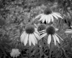 Coneflowers in black and white #flowers #floral #blackandwhite #monochrome #coneflowers #wallart #homedecor