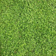 Hobbs & Hopkins Ltd. | ProTime Lawn Seed | Microclover® - Grass alternative