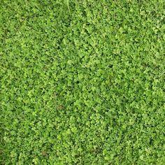 Hobbs & Hopkins Ltd. | ProTime Lawn Seed | Microclover® - Grass alternative
