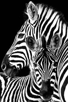 Zebra | Poster - REINDERS!