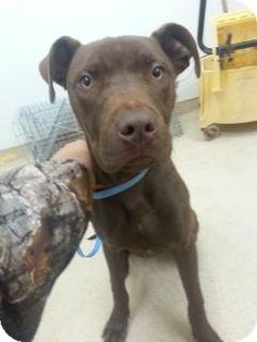 Hersey is a loving boy just looking to be rescued.  Please hurry this is a HIGH KILL SHELTER!!  Douglasville, GA - Maltese/American Pit Bull Terrier Mix. Meet Hershey a Dog for Adoption.